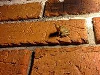 curious-tree-frog-on-brick-wall